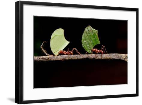 Leaf Cutter Ants, Carrying Leaf, Black Background.- Fotos593-Framed Art Print