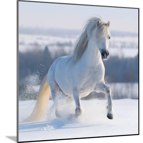 Gray Welsh Pony Galloping on Snow Hill-Abramova Kseniya-Mounted Photographic Print