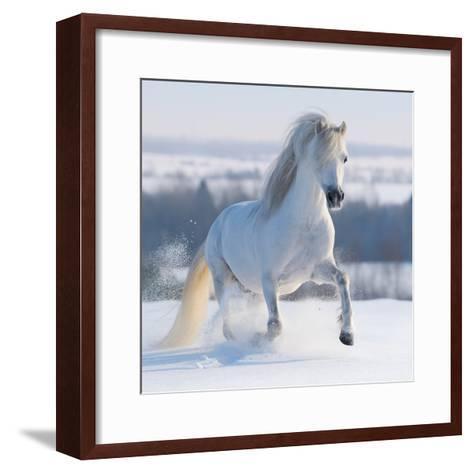Gray Welsh Pony Galloping on Snow Hill-Abramova Kseniya-Framed Art Print