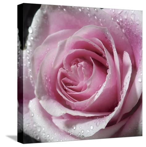 Raindrops & Roses III-Monika Burkhart-Stretched Canvas Print
