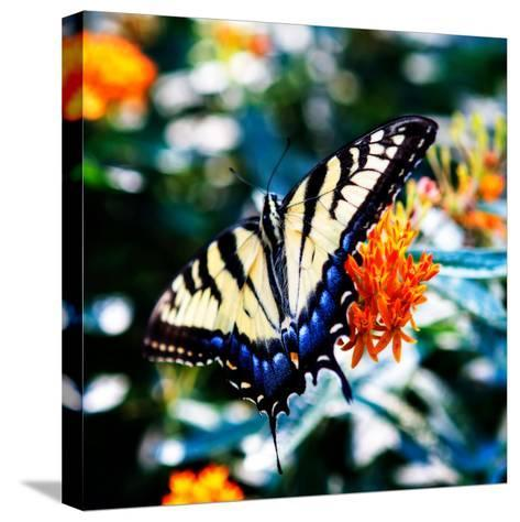 Resting Butterfly II-Alan Hausenflock-Stretched Canvas Print