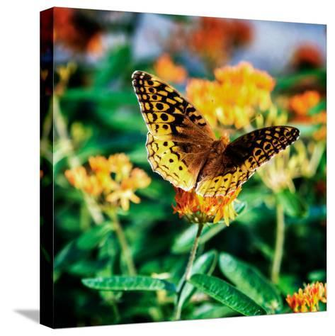 Resting Butterfly I-Alan Hausenflock-Stretched Canvas Print