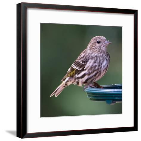 Pine Siskin-Stan Hellmann-Framed Art Print