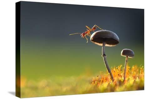 Weaver Ant Want to Jump from a Mushroom with Green Background-Robby Fakhriannur-Stretched Canvas Print