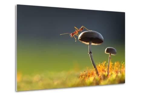 Weaver Ant Want to Jump from a Mushroom with Green Background-Robby Fakhriannur-Metal Print