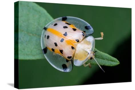 Macro Photography - Transparent Yellow Ladybird- KeongDaGreat-Stretched Canvas Print