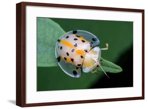 Macro Photography - Transparent Yellow Ladybird- KeongDaGreat-Framed Art Print