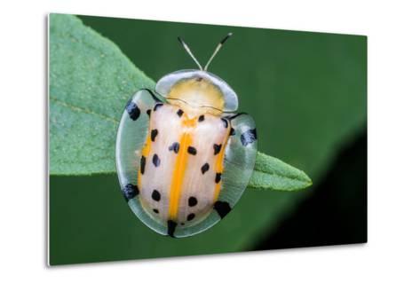 Macro Photography - Transparent Yellow Ladybird- KeongDaGreat-Metal Print