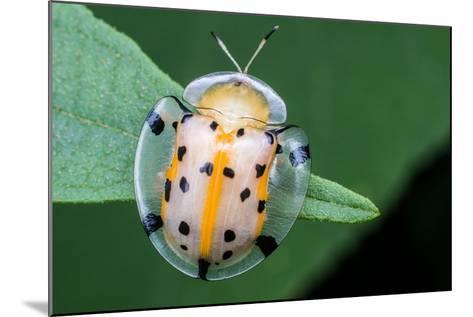 Macro Photography - Transparent Yellow Ladybird- KeongDaGreat-Mounted Photographic Print