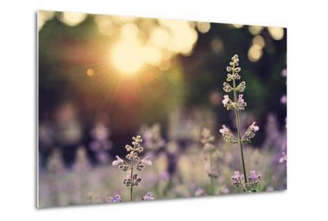 A Field of Lavender Flowers during Sunset in New York City-Jiyang Chen-Metal Print