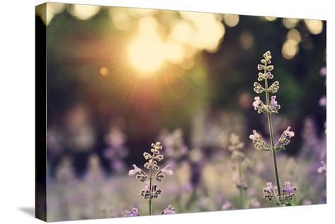 A Field of Lavender Flowers during Sunset in New York City-Jiyang Chen-Stretched Canvas Print