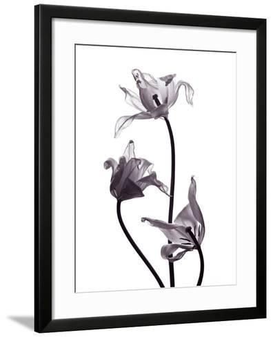 Three Withered Transparent Tulips on White Background Desaturated-Zaretska Olga-Framed Art Print