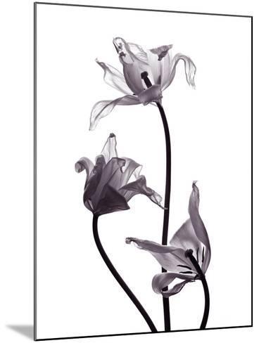 Three Withered Transparent Tulips on White Background Desaturated-Zaretska Olga-Mounted Photographic Print
