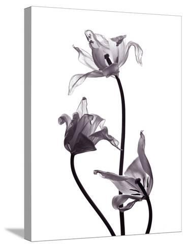 Three Withered Transparent Tulips on White Background Desaturated-Zaretska Olga-Stretched Canvas Print