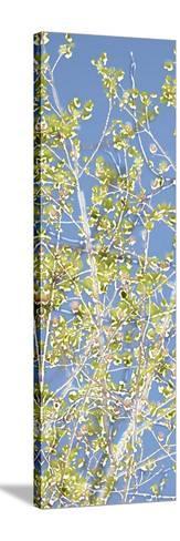 Spring Poplars II-Sharon Chandler-Stretched Canvas Print