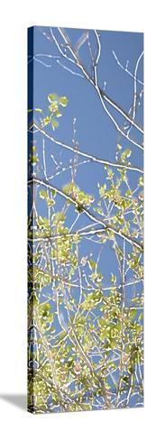 Spring Poplars IV-Sharon Chandler-Stretched Canvas Print