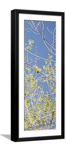 Spring Poplars IV-Sharon Chandler-Framed Art Print
