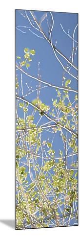 Spring Poplars IV-Sharon Chandler-Mounted Art Print