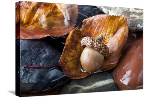 Autumn in Central Park with Acorn on Leaf after Rain-John A Anderson-Stretched Canvas Print