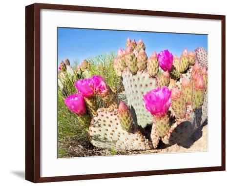 Blooming Beavertail Cactus in Mojave Desert.-Anton Foltin-Framed Art Print