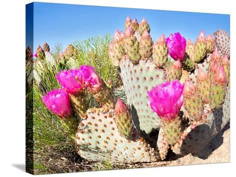 Blooming Beavertail Cactus in Mojave Desert.-Anton Foltin-Stretched Canvas Print