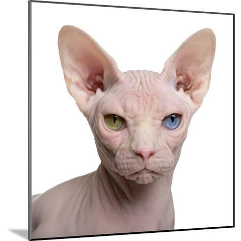 Sphynx Cat, 1 Year Old, in Front of White Background-Eric Isselee-Mounted Photographic Print