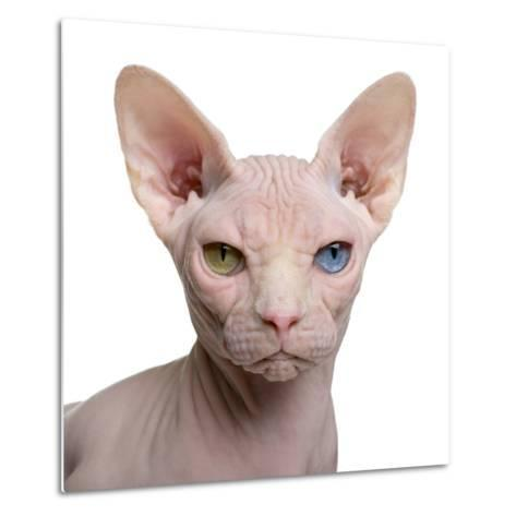 Sphynx Cat, 1 Year Old, in Front of White Background-Eric Isselee-Metal Print