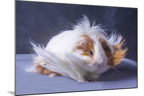 A Guinea Pig's Hair is Blowing in the Wind.- EBPhoto-Mounted Photographic Print