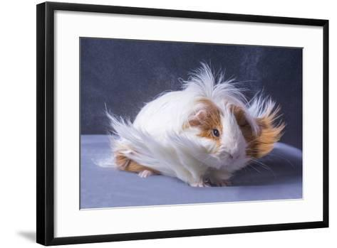 A Guinea Pig's Hair is Blowing in the Wind.- EBPhoto-Framed Art Print