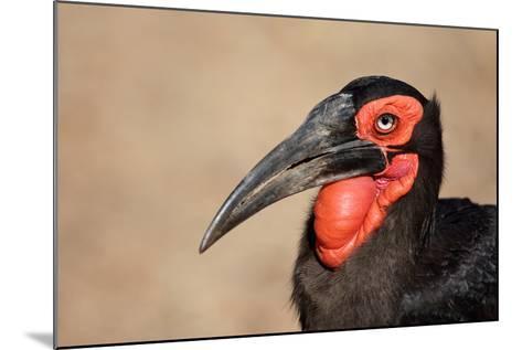 Portrait of a Southern Ground Hornbill; Bucorvus Leadbeateri; South Africa-Johan Swanepoel-Mounted Photographic Print