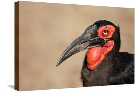 Portrait of a Southern Ground Hornbill; Bucorvus Leadbeateri; South Africa-Johan Swanepoel-Stretched Canvas Print
