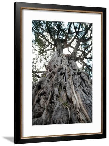 Ancient Olive Tree in the Masai Mara Reserve (Kenya)-Paul Banton-Framed Art Print