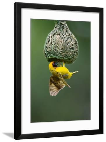Masked Weaver; Ploceus Velatus; Hanging Upside down from Nest; South Africa-Johan Swanepoel-Framed Art Print