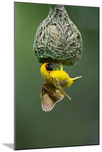 Masked Weaver; Ploceus Velatus; Hanging Upside down from Nest; South Africa-Johan Swanepoel-Mounted Photographic Print