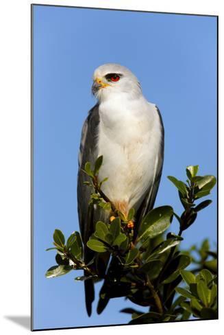 Black-Shouldered Kite - Elanus Caeruleus-Johan Swanepoel-Mounted Photographic Print