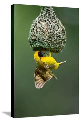 Masked Weaver; Ploceus Velatus; Hanging Upside down from Nest; South Africa-Johan Swanepoel-Stretched Canvas Print