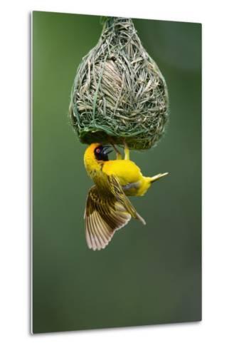 Masked Weaver; Ploceus Velatus; Hanging Upside down from Nest; South Africa-Johan Swanepoel-Metal Print