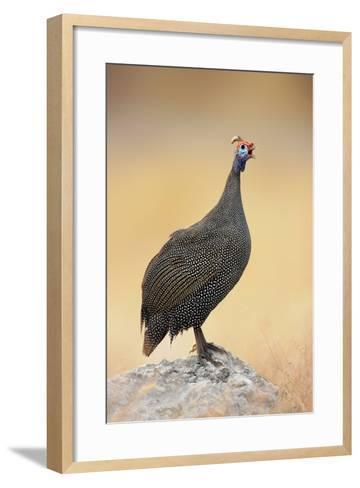Guinea-Fowl Perched on a Rock - Etosha National Park-Johan Swanepoel-Framed Art Print