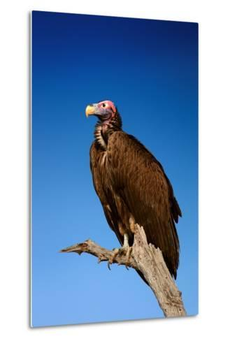 Lappetfaced Vulture against Blue Sky (Torgos Tracheliotus) South Africa-Johan Swanepoel-Metal Print