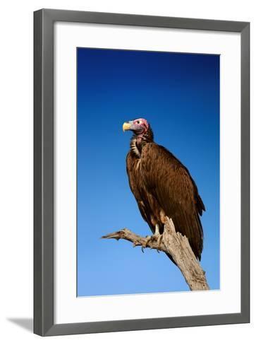 Lappetfaced Vulture against Blue Sky (Torgos Tracheliotus) South Africa-Johan Swanepoel-Framed Art Print