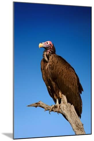 Lappetfaced Vulture against Blue Sky (Torgos Tracheliotus) South Africa-Johan Swanepoel-Mounted Photographic Print