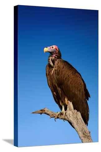 Lappetfaced Vulture against Blue Sky (Torgos Tracheliotus) South Africa-Johan Swanepoel-Stretched Canvas Print