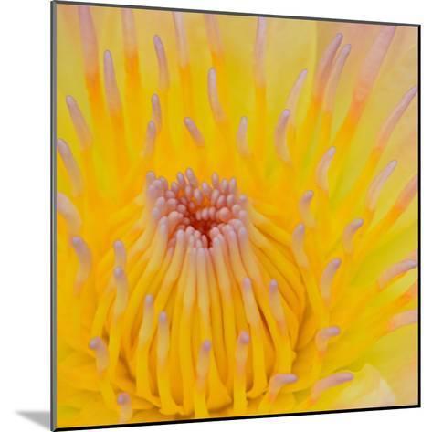 Close up of Beautiful Yellow Water Lily-Panu Ruangjan-Mounted Photographic Print