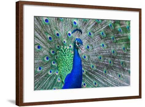 Close up of Beautiful Male Peacock with Feathers-ommaphat chotirat-Framed Art Print