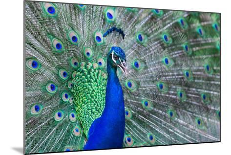 Close up of Beautiful Male Peacock with Feathers-ommaphat chotirat-Mounted Photographic Print