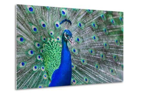 Close up of Beautiful Male Peacock with Feathers-ommaphat chotirat-Metal Print