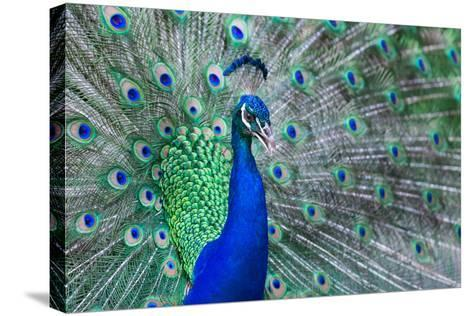 Close up of Beautiful Male Peacock with Feathers-ommaphat chotirat-Stretched Canvas Print