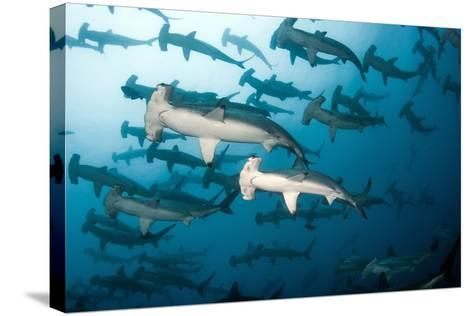 School of Scalloped Hammerheads-Tomas Kotouc-Stretched Canvas Print