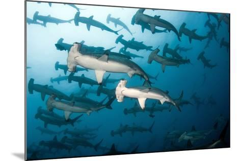 School of Scalloped Hammerheads-Tomas Kotouc-Mounted Photographic Print