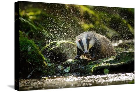 European Badger Shaking and Splashing Water Drops Around-Stanislav Duben-Stretched Canvas Print